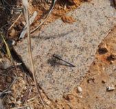 Dragonfly na skale zdjęcie stock