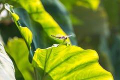 Dragonfly na taro liściach w ranku Zdjęcie Stock
