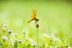 Dragonfly na trawa kwiatach Zdjęcia Royalty Free