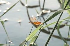 Dragonfly na trawie Fotografia Stock