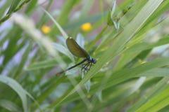 Dragonfly na trawie obrazy stock