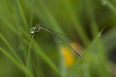 Dragonfly na trawie z dews Obrazy Stock