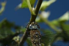 Dragonfly na zielonym vegitation w ogródzie zdjęcie royalty free