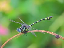 Dragonfly, natural background Stock Photos