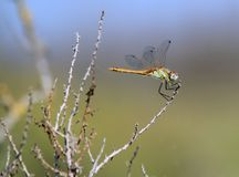 Dragonfly in nature Royalty Free Stock Image