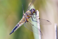 Dragonfly. In the nature closeup royalty free stock photo