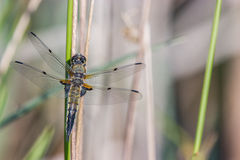 Dragonfly. In the nature closeup royalty free stock photography