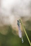 Dragonfly. In the nature closeup royalty free stock photos