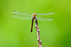 Dragonfly in nature Royalty Free Stock Photos
