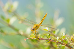 Dragonfly in the nature habitat. Stock Photo