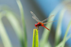 Dragonfly in the nature habitat. Stock Image