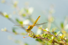 Dragonfly in the nature habitat. Royalty Free Stock Photography