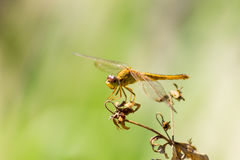 Dragonfly in the nature habitat. Stock Images