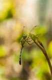 Dragonfly in nature. Stock Photo