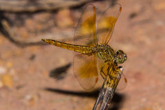 Dragonfly on the nature, macro Stock Images