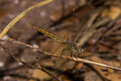 Dragonfly on the nature, macro Royalty Free Stock Photos