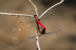 Dragonfly in nature. Royalty Free Stock Photos