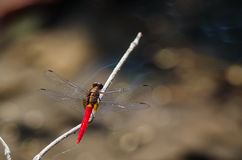 Dragonfly in nature. Royalty Free Stock Images
