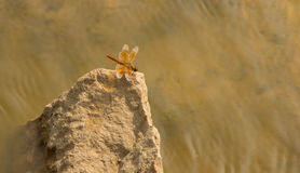 Dragonfly near water Royalty Free Stock Photo