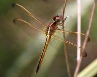 dragonfly needham s skimmer Zdjęcia Royalty Free