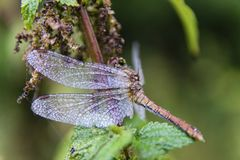 Dragonfly on nettle. With a creamy bokeh stock photos