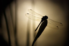 Dragonfly in night. Dragonfly on the flower in moonlight royalty free stock images