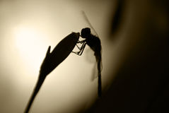 Dragonfly in night. Dragonfly on the flower in night royalty free stock photo