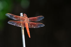 Dragonfly Northern California. Orange bug Royalty Free Stock Photo