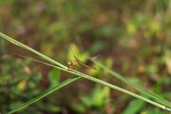 Dragonfly, оранжевые хоботы висит на траве, на предпосылке травы стоковое изображение