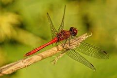 Dragonfly obsiadanie na gałęziastej roślinie Obrazy Stock