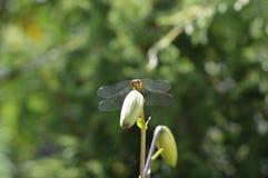 Dragonfly obsiadanie na leluja pączku Obrazy Royalty Free