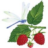 Dragonfly obsiadanie na malinkach ilustracja wektor
