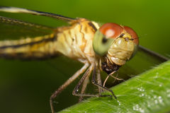 Dragonfly obsiadanie na roślinie Obrazy Royalty Free