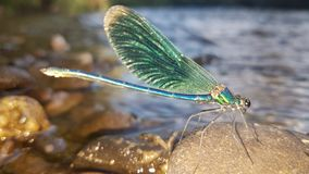 Dragonfly obsiadanie na skale obraz stock