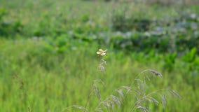 Dragonfly obsiadanie na trawie na lato łące zbiory