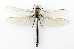 Dragonfly odizolowywający Zdjęcie Royalty Free