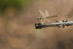 Dragonfly odizolowywający na kiju Zdjęcie Royalty Free