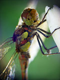 Dragonfly (Odonata). Is sitting on the white flower (Narcissus Royalty Free Stock Photography