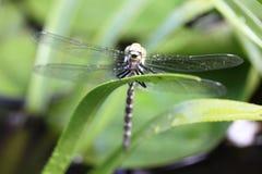 Dragonfly   (Odonata) Stock Photos