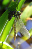 Dragonfly   (Odonata) Royalty Free Stock Photos