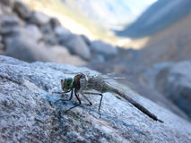 Dragonfly Odonata Fabricius (Zygoptera) in a state of suspended. Damselflies Odonata Fabricius sits on a rock in the morning suspended animation on the glacier Royalty Free Stock Photo