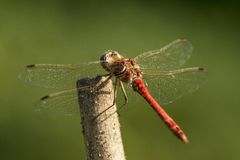 Dragonfly, Odonata. A insect with fragile wings. Odonata, dragonfly. A insect with four fragile wings. The wings are transparant royalty free stock images