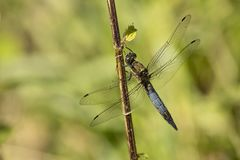 Dragonfly, Odonata. A insect with fragile wings. Odonata, dragonfly. A insect with four fragile wings. The wings are transparant royalty free stock photo