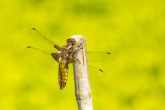 Dragonfly, Odonata. A insect with fragile wings. Odonata, dragonfly. A insect with four fragile wings. The wings are transparant stock image