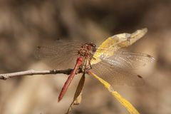 Dragonfly, Odonata. A insect with fragile wings. Odonata, dragonfly. A insect with four fragile wings. The wings are transparant stock images