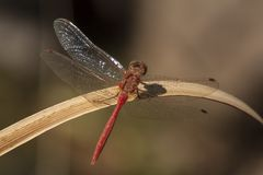 Dragonfly, Odonata. A insect with fragile wings. Odonata, dragonfly. A insect with four fragile wings. The wings are transparant stock photo