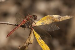 Dragonfly, Odonata. A insect with fragile wings. Odonata, dragonfly. A insect with four fragile wings. The wings are transparant stock photography
