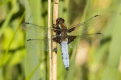 Dragonfly, Odonata. A insect with fragile wings. Odonata, dragonfly. A insect with four fragile wings. The wings are transparant royalty free stock photos