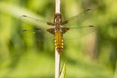 Dragonfly, Odonata. A insect with fragile wings. Odonata, dragonfly. A insect with four fragile wings. The wings are transparant royalty free stock photography