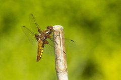Dragonfly, Odonata. A insect with fragile wings. Odonata, dragonfly. A insect with four fragile wings. The wings are transparant royalty free stock image